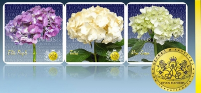 Hydrangea  For Export Wholesale From Columbia!